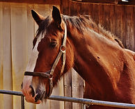 brown Clydesdale horse