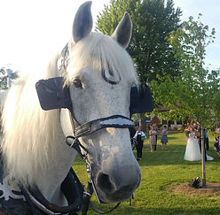 Jedi, Brookdale Farms Carriage services white horse