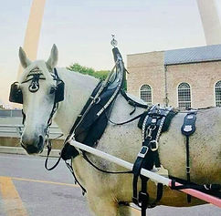 Thor, Brookdale Farms Carriage services white horse
