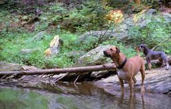 hemlock dogs
