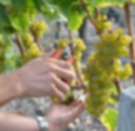 Vigne et raisin Chateau Hat-Lagrange Vendanges