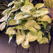 Arrowhead Syngonium podophyllum