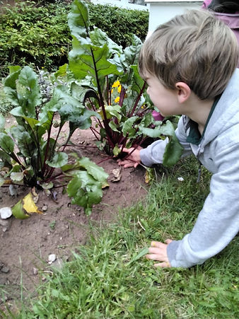 Harvesting vegetables at the World Outside Kindergarten and outdoor nursery in Kidderminster