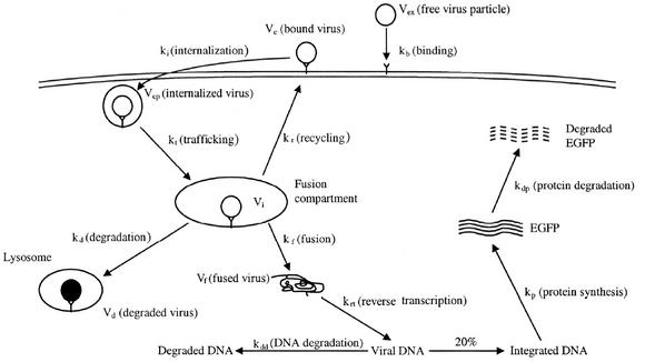 """2004. Kwang-il Lim, Shakti Narayan, John A.T. Young, John Yin*. """"Effects of lipid rafts on dyna"""