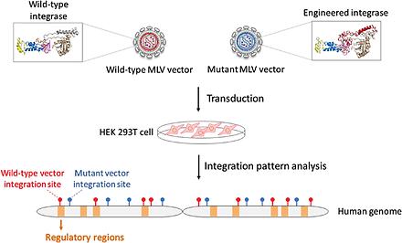 Alteration of gammaretroviral vector int