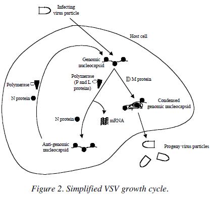 "2005. Kwang-il Lim, Vy Lam, Tobias Lang and John Yin*. ""Engineering virus growth by gene-order"
