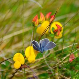 small blue kidney vetch oldside summer 2