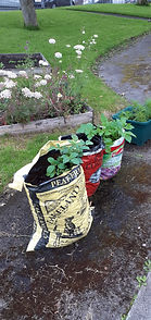 Reuse compost bags, potatoes.jpg