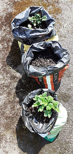 Reuse compost bag potaotes June 2020.jpg