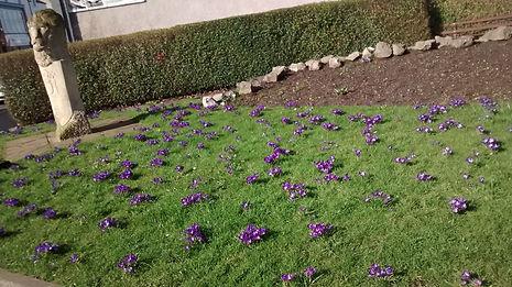 WIB17 Crocus planting - spring 004.jpg