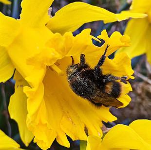 Bee on a daffodil