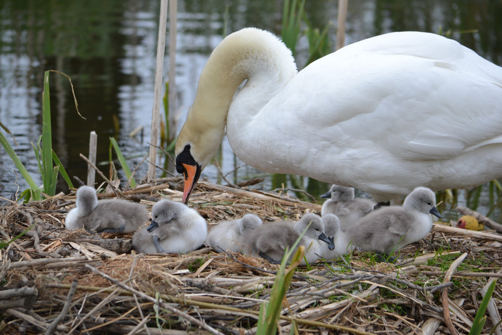 Millfield, swan and cygnets