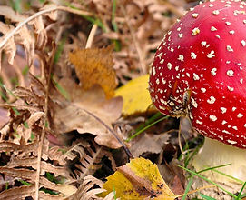 Fly-Agaric-fall-into-nature-1200x515 (1).jpg