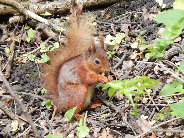Hall Park red squirrel