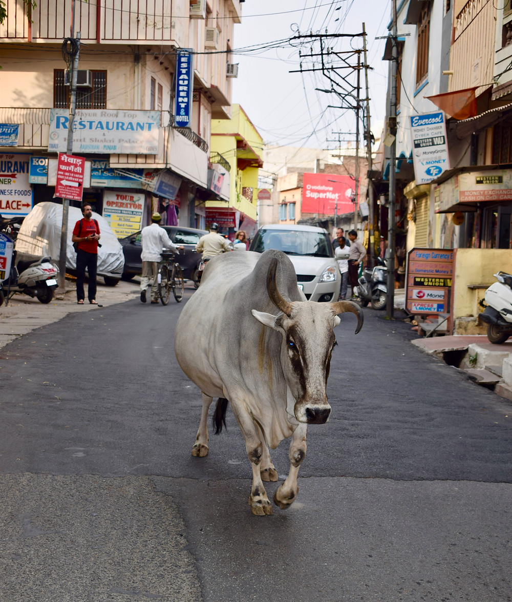Why are there so many cows in India? Why are cows sacred in India? Indian animals