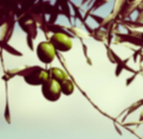 Zumo de aceituna extraido en frío de la mejor selección de olivas. Saborolivabaena elabora y comercializa directamente en sus almazaras el mejor AOVE (Aceite de Oliva Virgen Extra).