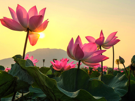 Significance of the Lotus Flower