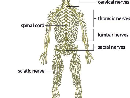 The Autonomic Nervous System - General Overview