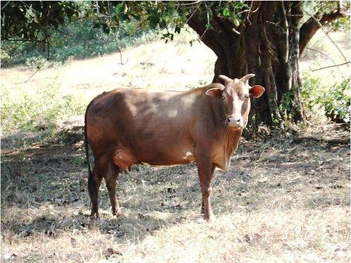 Malnad Cow Ghee [330 g]