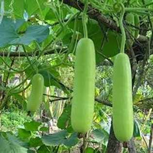 Bottle Gourd [1 pc - approx. 500 g - 800 g]