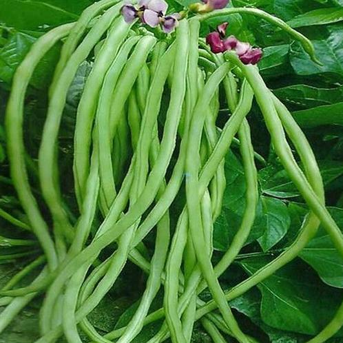 Beans-cowpea (yard long) [500 g]