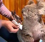 koala mittens.jpeg