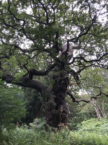 Oak Tree Nest - Notts