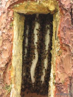 Comb Inside a Tree Hive