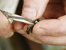 Clipping a queen bees wing