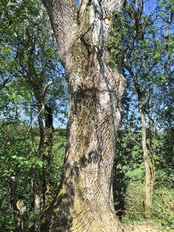 The First UK Zeidler Tree