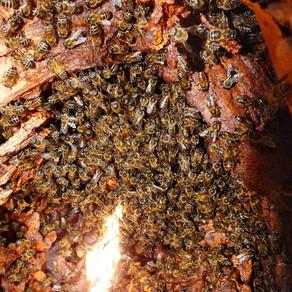 Propolis - A vital element of a healthy hive
