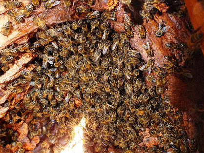 Propolis - A vital element of a healthy hive