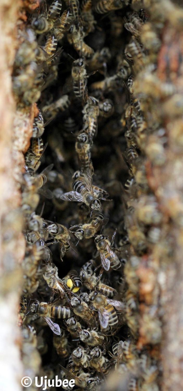 The Poplar Bees - Copyright Ujubee