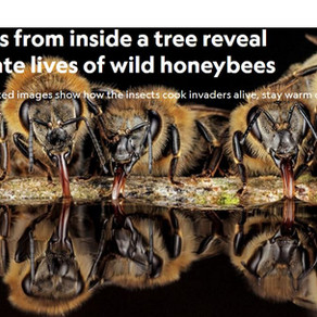 ∞ Photos from inside a tree reveal intimate lives of wild honeybees