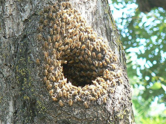 Bees in tree entrance