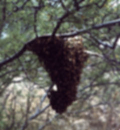 Swarm rests on tree
