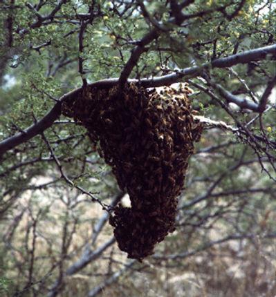 Swarm rests on tree