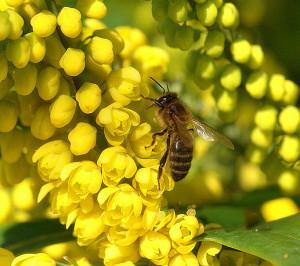 Bees On Mahonia