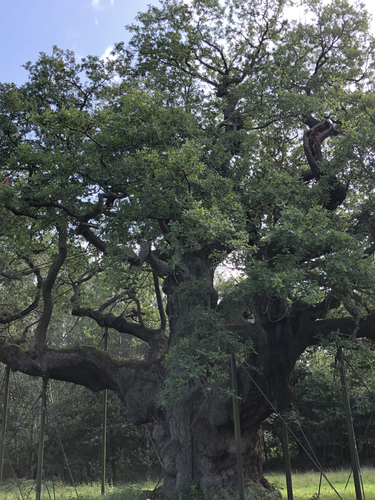 Largest Bee Tree in the world - Notts
