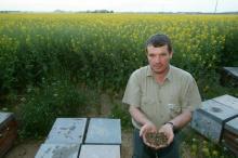 Dead bees near rape oil seed.