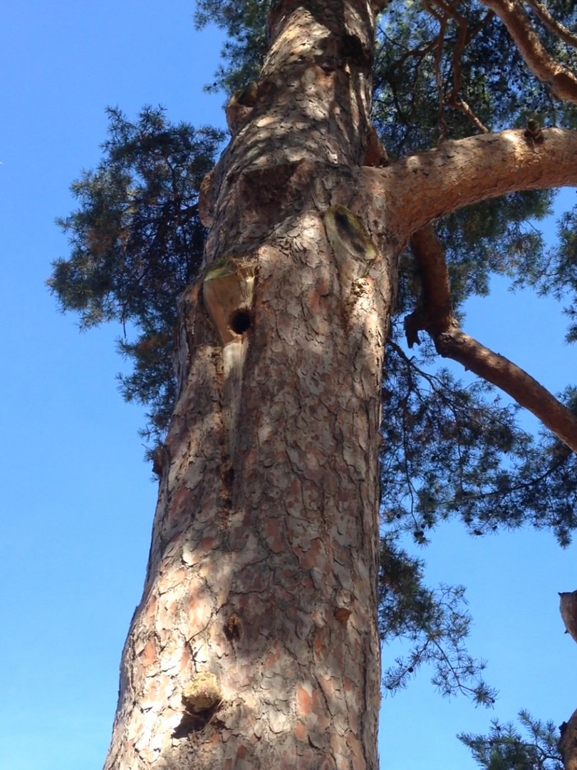 Nest in Pine Tree - 2019
