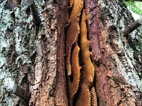 Pertwood Farm Tree Hive Update