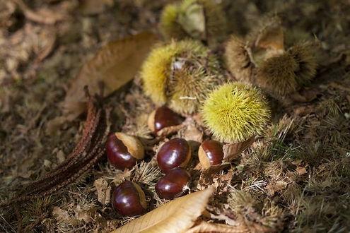Hall Stanley Premium Chestnuts.jpg