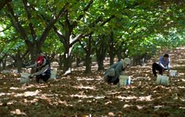 Hall-Stanley-Chestnuts-Harvest-6.jpg