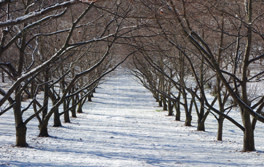 Hall Stanley Chestnut Orchard Rows Winte