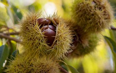 Hall-Stanley-Chestnuts-Nut-1.jpg