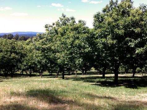 Hall Stanley Chestnut Orchard.jpg