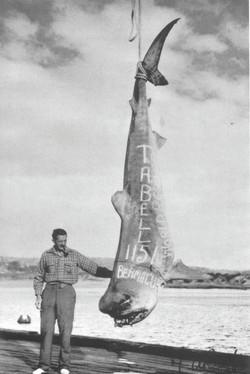 Tom Bell's Record Tiger shark