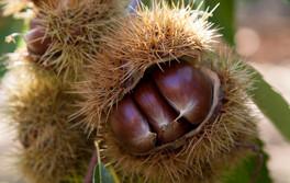 Hall-Stanley-Chestnuts-Harvest-5.jpg