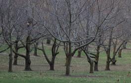 Hall Stanley Chestnut Orchard Winter.jpg